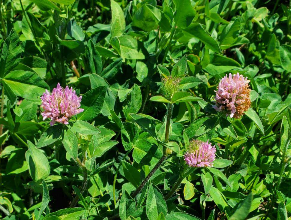 medium red clover