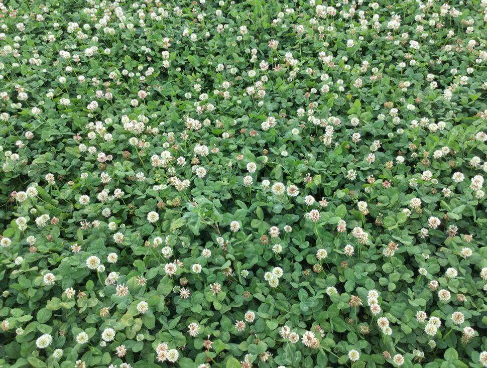 Intermediate clover