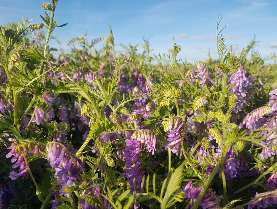 Patagonia Inta hairy vetch plants and flowers in a field