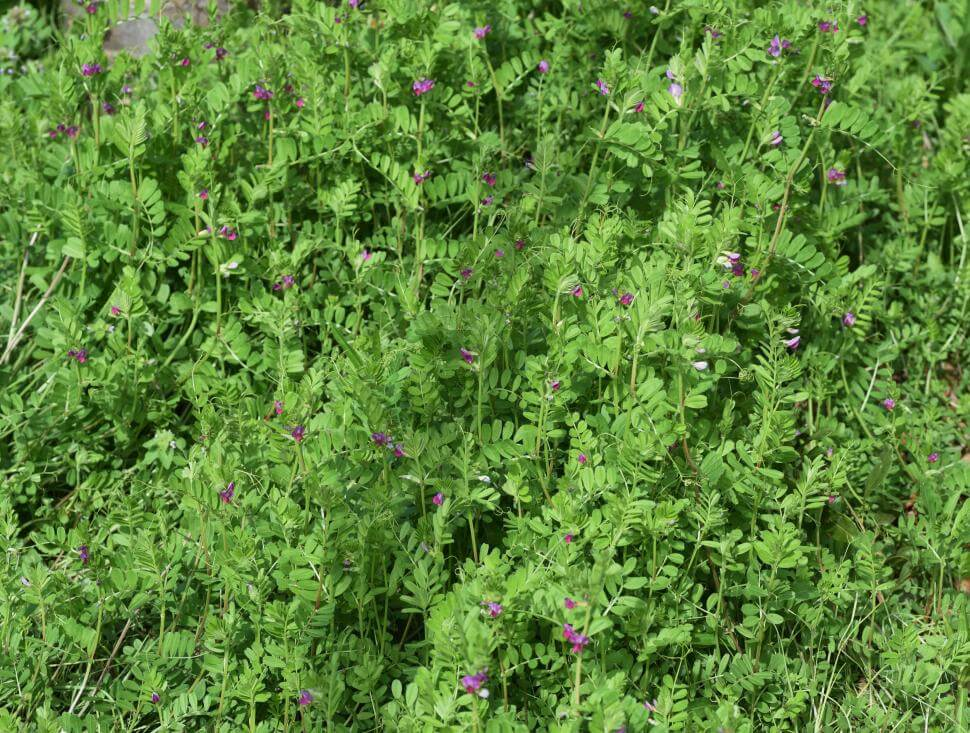 Common vetch plants in a field