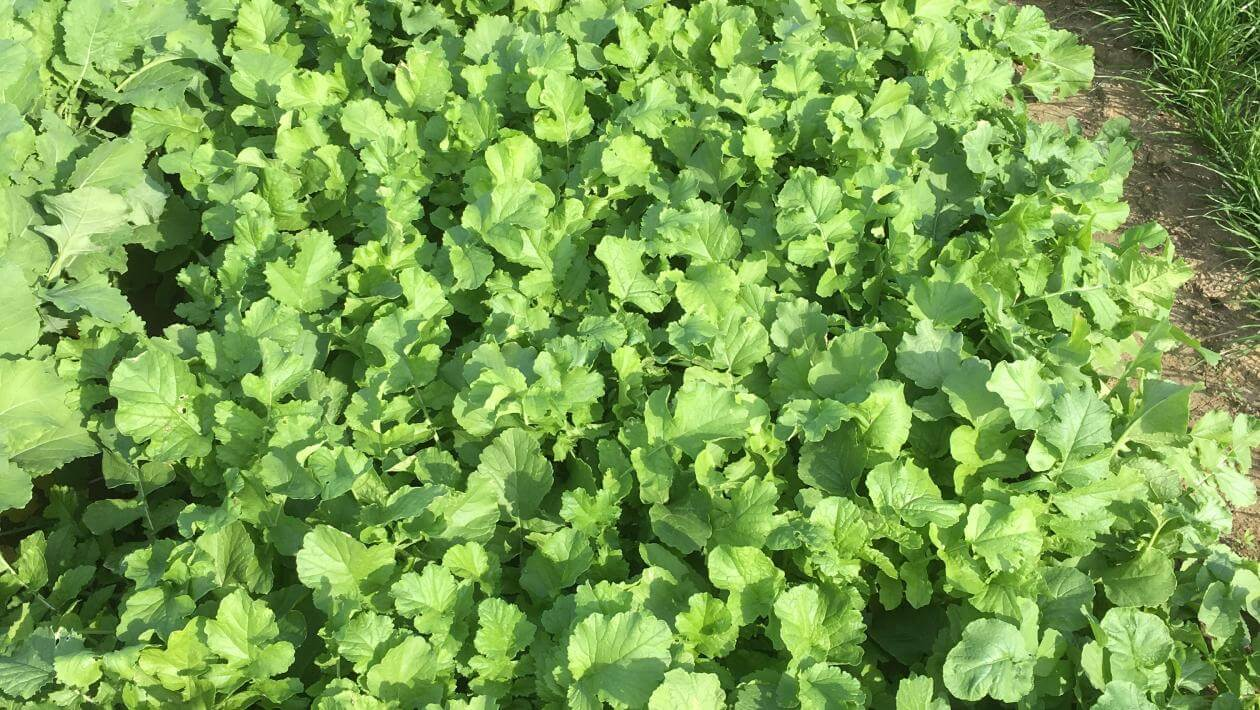 CCS 779 Cover Crop Radish in a trial plot
