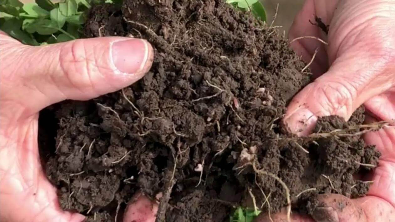 Winter pea roots showing nodulation